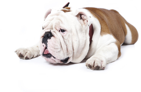 子犬イングリッシュブルドッグ子犬