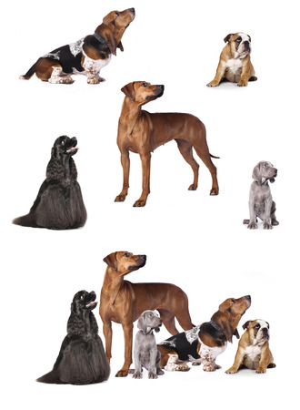 Group of  puppies and dogs  sitting in front of a white background photo