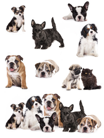 Group of  puppies sitting in front of a white background photo