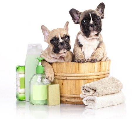 pet grooming: puppy bath time - French  bulldog puppy in wooden wash basin with soap suds