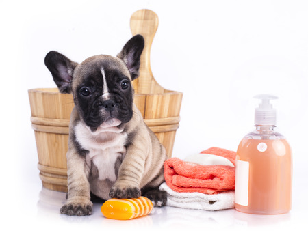 dog grooming: puppy bath time - French  bulldog puppy in wooden wash basin with soap suds
