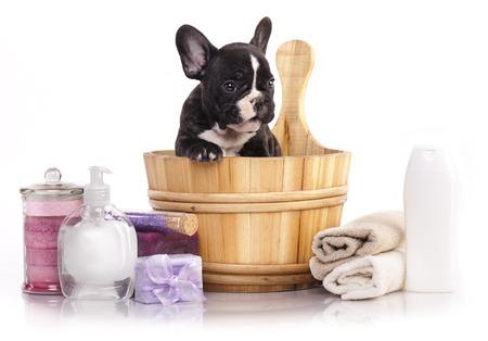 bulldog puppy: puppy bath time - French bulldog puppy in wooden wash basin with soap suds