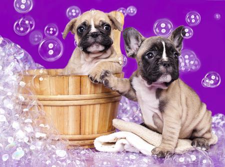 champ�: Cachorros de bulldog franc�s en el lavabo de madera con espuma de jab�n