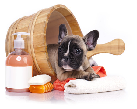 bath: puppy bath time - French  bulldog puppy in wooden wash basin with soap suds