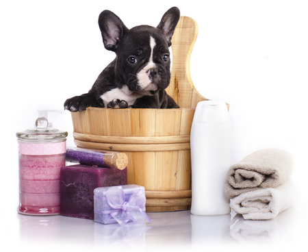 soap suds: puppy bath time - French  bulldog puppy in wooden wash basin with soap suds