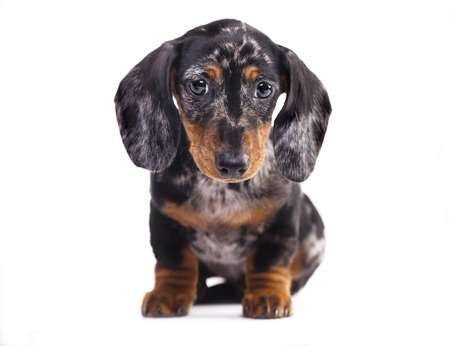 doxie: Dachshund puppy marble color Stock Photo