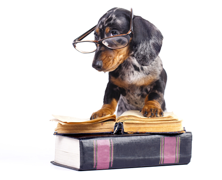 doxie: dachshund puppy in glasses and book