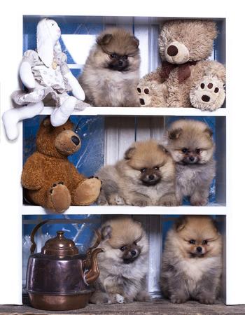 plushie: Pomeranian puppies and bear toy Stock Photo