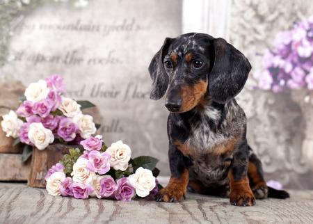 dog dachshund Stock Photo