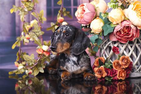 purebred: purebred dachshund dog Stock Photo