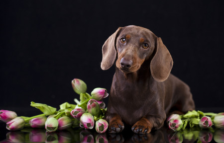 doxie: dachshund dog and flowers
