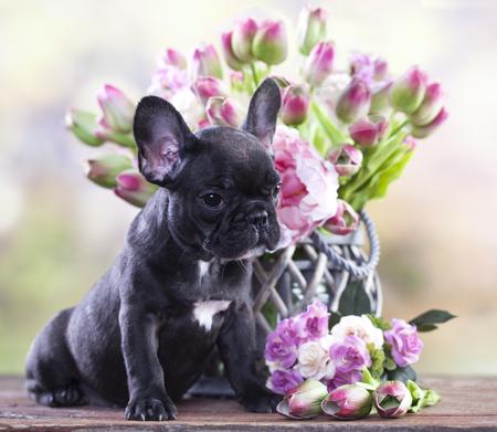 フレンチ ブルドッグ子犬と花の花束