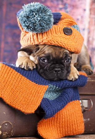 french bulldog puppy in hat hand-knitted Stock Photo