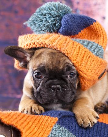 french bulldog puppy in hat Stock Photo