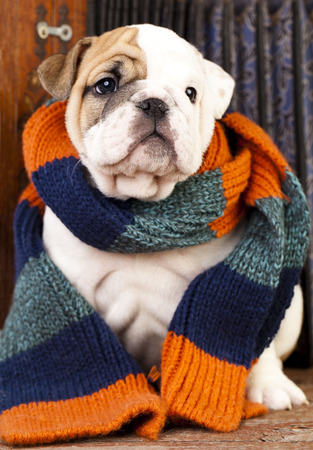 english bulldog puppy: english Bulldog puppy wrapped in a scarf Stock Photo