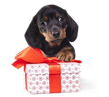 ダックスフンド子犬とギフト ボックス