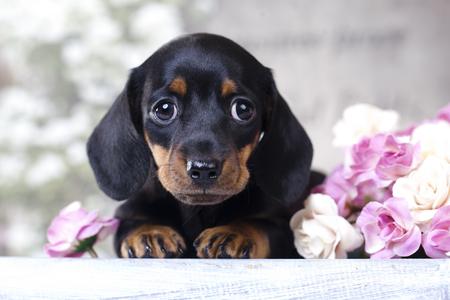 ダックスフンド子犬