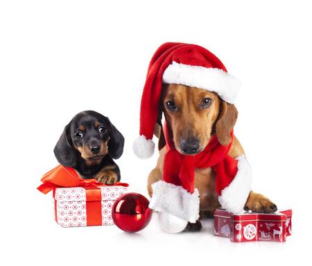 サンタの帽子をかぶっている子犬と犬のダックスフント