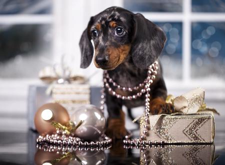 クリスマス ダックスフンド子犬 写真素材