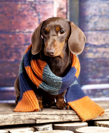 cute dogs: Dachshund wearing a scarf Stock Photo