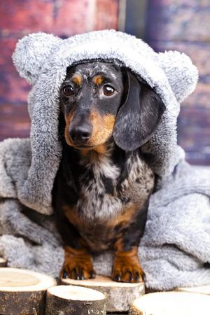 クマのスーツのダックスフント犬