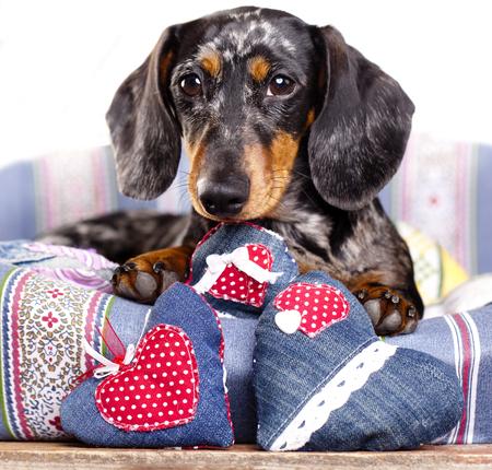 ダックスフント犬と心 写真素材