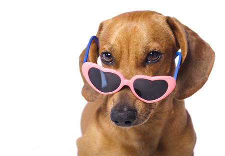 メガネのダックスフンド子犬