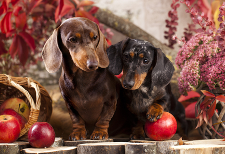 紅葉と秋の背景のダックスフント犬