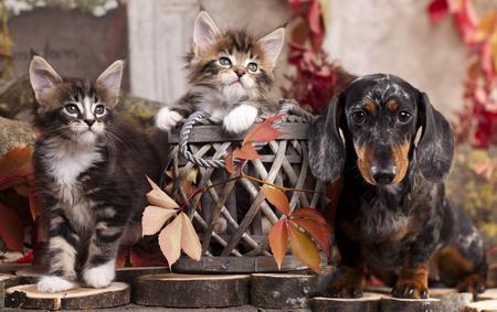 ダックスフント犬と子猫が、紅葉と秋の背景 写真素材