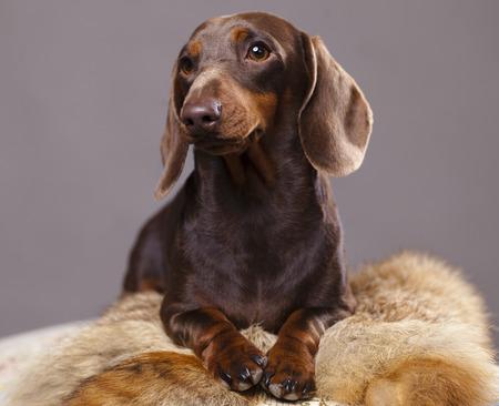 キツネの皮の上に横たわるチョコレート茶色ダックスフント