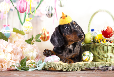 Dachshund rabbit and Easter eggs Stock Photo
