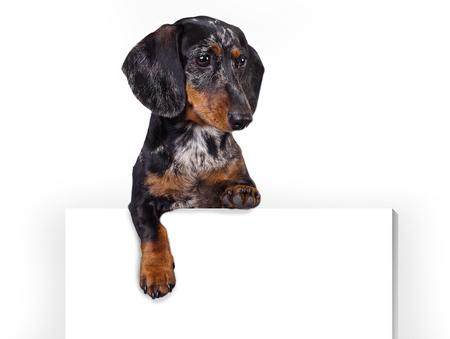 ブランクの看板と犬のダックスフント。上記のバナーや看板犬。白い背景の上のダックスフント犬の肖像画