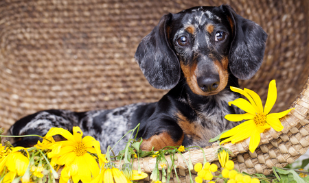 hounds: Dachshund the dog in the hat among the flowers