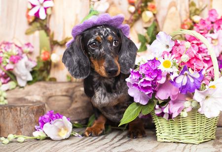 花の中で帽子をかぶった犬のダックスフント