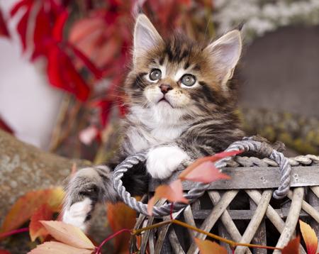 秋の背景にメインクーン子猫