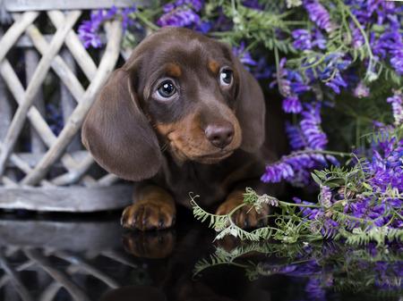 ダックスフンドの純血種の子犬