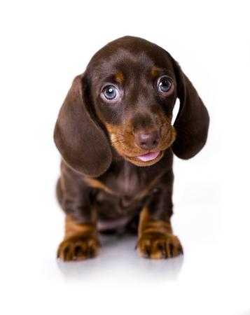 hotline: puppy of Dachshund on white