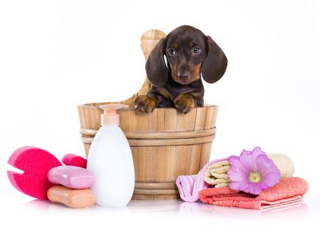 강아지 목욕 시간 - 비누 비눗물으로 나무 씻어 분지에 닥스 훈트 강아지 스톡 콘텐츠