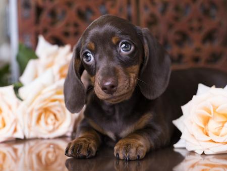 チョコレート色の子犬ダックスフント 写真素材