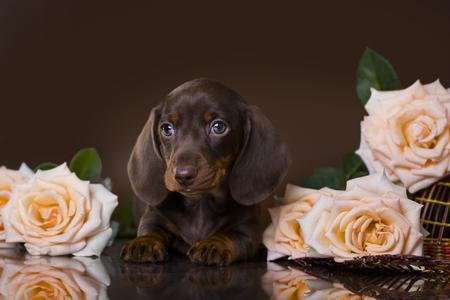 チョコレート色、コーヒー子犬のダックスフンドの子犬