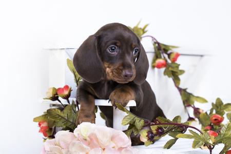 子犬ダックスフンド、ミニチュア ブラウン tan 色