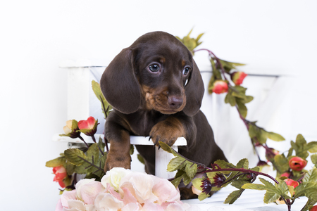 Puppy dachshund, miniature brown-tan color Stock Photo - 83758625