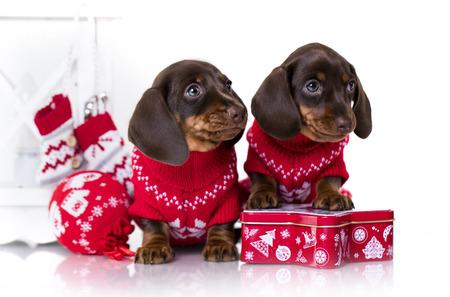 クリスマス犬、新年の子犬子犬ダックスフント