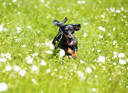 ダックスフントの牧草地で高い草でジャンプ