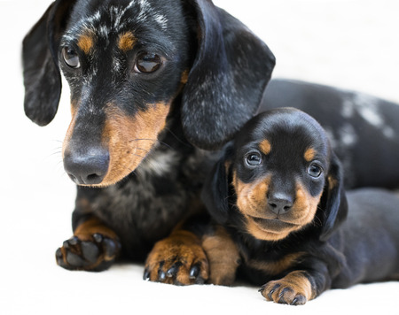 mother dogs and puppy breed dachshund Banco de Imagens