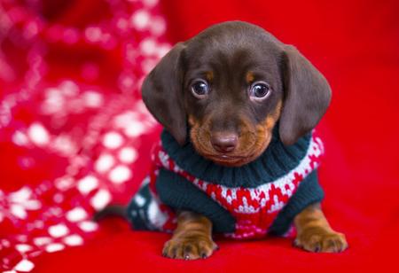 子犬クリスマス ダックスフント