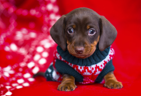 puppy kerstmis Teckel Stockfoto