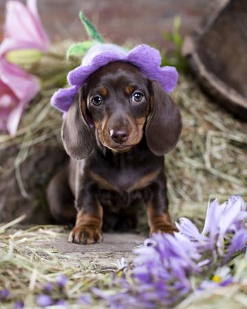 帽子のダックスフンド子犬 写真素材