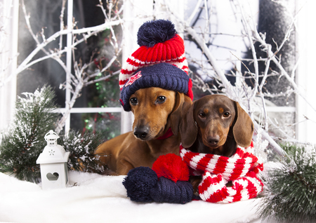 Christmas Dachshunds  In a hat and scarf