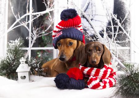 Dachshunds di Natale in un cappello e una sciarpa Archivio Fotografico - 83887644